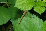 Sympetrum striolatum